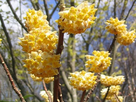 edgeworthia-at-tlm-flowers