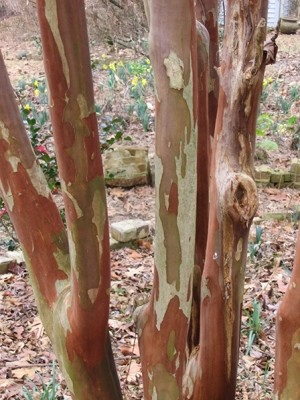 lagerstroemia-fantasy-bark