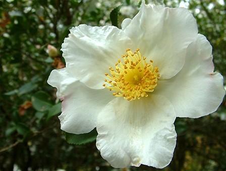 single-camellia