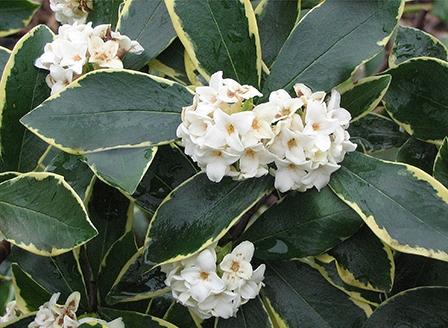 white-flowered-daphne